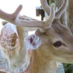 Dormagen Deer Park Tannenbusch