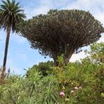 Parque Del Drago (Icod, Tenerife)
